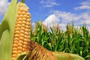 Corn-Field-photo